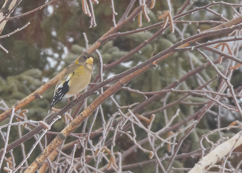 A female Evening Grosbeak resting after busy feeding at a private feeder in Pickford, MI.