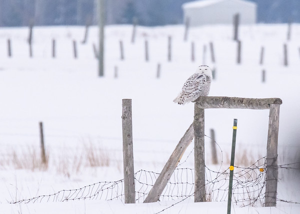 The 4th Snowy Owl of the trip, this one was at a reasonable distance from us, somewhere in Rudyard, Chippewa County, MI.
