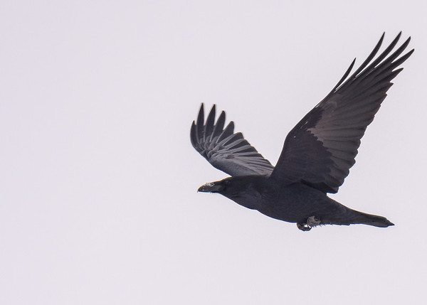 A Common Raven in flight seen at Sault Ste Marie, MI.