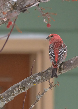How about this angle? was the shot better? A male Pine Grosbeak taking some rest after a busy schedule of feeding at a feeder somewhere in Pickford, Chippewa County,  MI.
