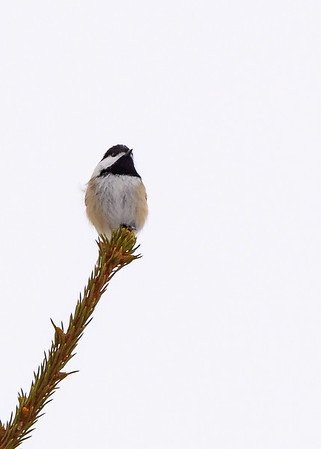 A Black-capped Chickadee seen near Sault Ste. Marie, MI.