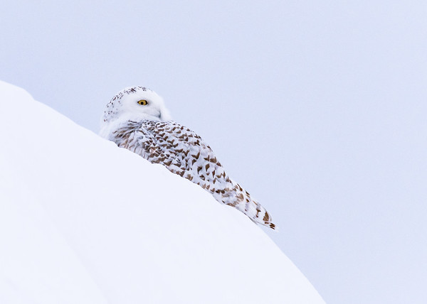 The 3rd Snowy Owl of the trip keeping a close eye on the visitors, somewhere in Rudyard, Chippewa County, MI.