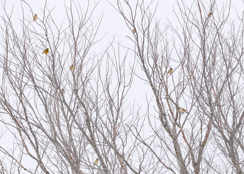 A tree made up of Evening Grosbeaks!! how many do you see??? There were more nearby!! somewhere in Pickford, Chippewa County,  MI.