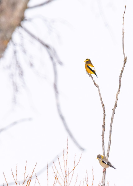 An Evening Grosbeak couple taking in the view from top, somewhere in Pickford, Chippewa County,  MI.