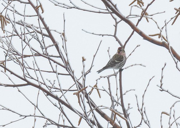 A Common Redpoll seen at Pickford, MI. We didnt see very many of these wonderful birds, whichever showed up gave us good looks.