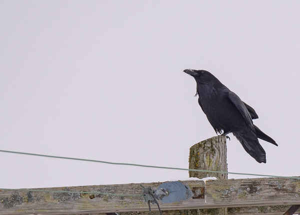 A Common Raven checking out the visitors to the area at Sault Ste Marie, MI.