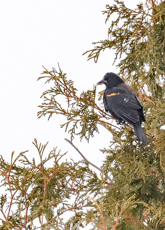 A straggler Red-winged Blackbird (male) seen at Dunbar Forest Experiment Station MSU, Soo Twp, MI.