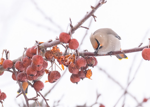 The star for us, a Bohemian Waxwing busy in scarfing some yummy berries, Pickford, MI.