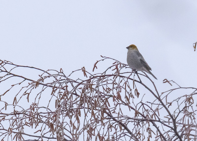 An elegant female Pine Grosbeak seen at Chippewa County, MI.