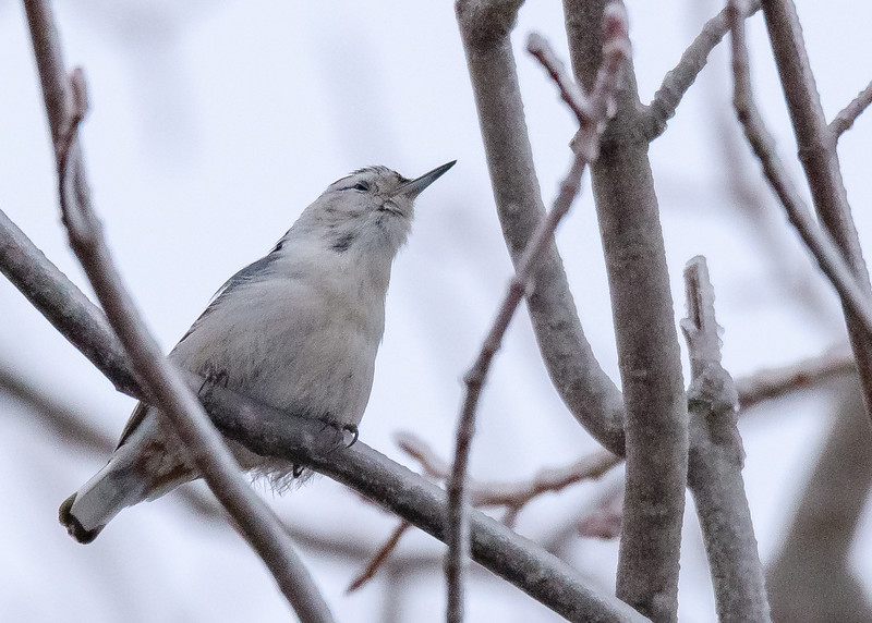 A very vocal White-breasted Nuthatch seen at Kinross, MI.