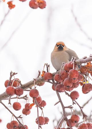 Hey are you here to taste our berries?, a Bohemian Waxwing checking us out to make sure we stay in our lane, Pickford, MI.