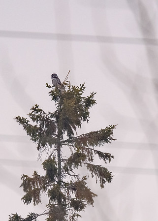 A far away Northern Hawk Owl, Sault Ste Marie, MI.