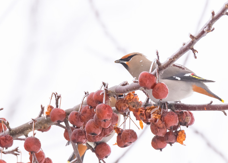 The star for us, a close portrait of a Bohemian Waxwing at Pickford, MI.