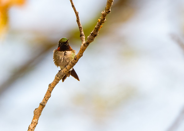 Ruby-throated Hummingbird (male) at Indiana Dunes State Park, Chesterton, IN
