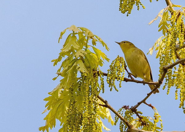 Tennessee Warbler at Indiana Dunes State Park, Chesterton, IN