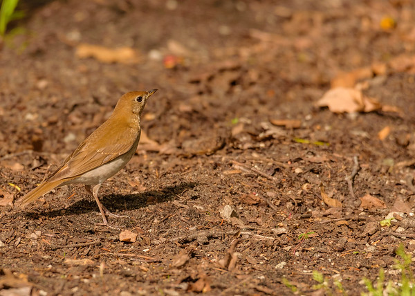 Veery at Indiana Dunes State Park, Chesterton, IN