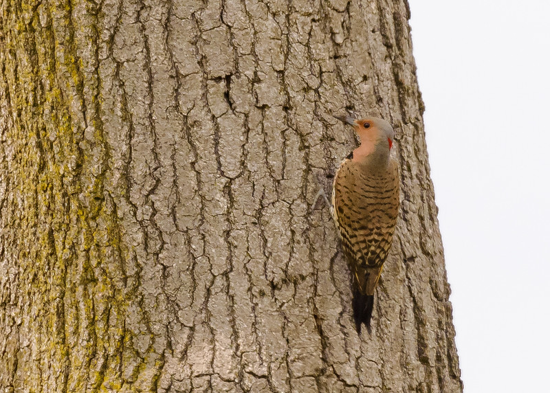 Northern Flicker (female) at Cowles Bog, Dune Acres, Indiana, US
