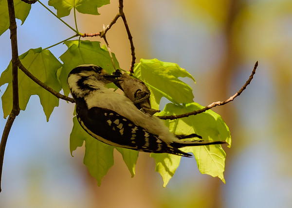 Downy Woodpecker (female) at Indiana Dunes State Park, Chesterton, IN