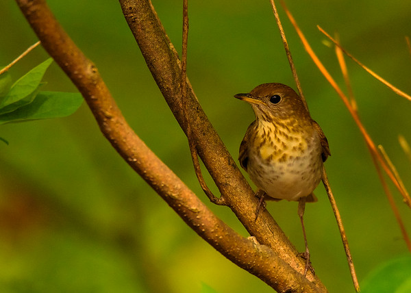 Gray-cheeked Thrush at Indiana Dunes State Park, Chesterton, IN