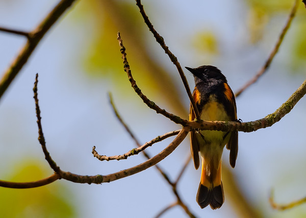 American Redstart (male) at Indiana Dunes State Park, Chesterton, IN