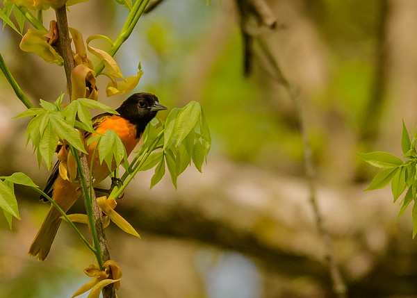 Baltimore Oriole (male) at Indiana Dunes State Park, Chesterton, IN