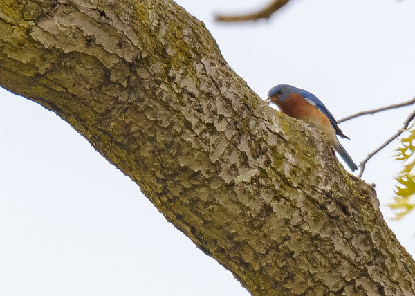 Eastern Bluebird (female) at Cowles Bog, Dune Acres, Indiana, US