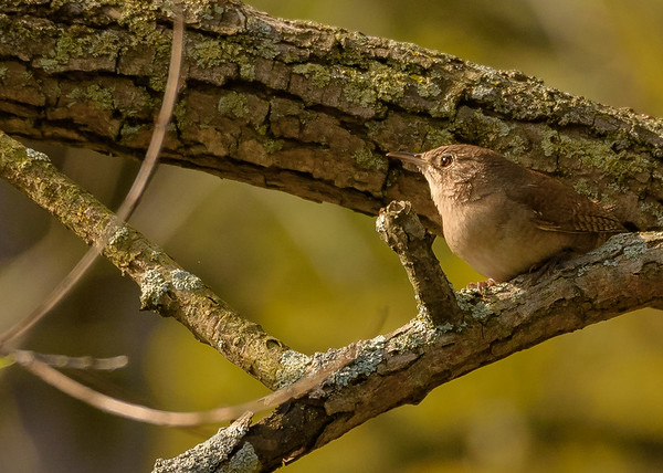 House Wren at Indiana Dunes State Park, Chesterton, IN
