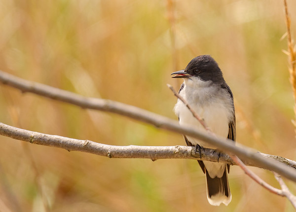 Eastern Kingbird at Indiana Dunes State Park, Chesterton, IN