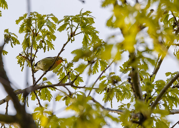 Blackburnian Warbler (male) at Indiana Dunes State Park, Chesterton, IN
