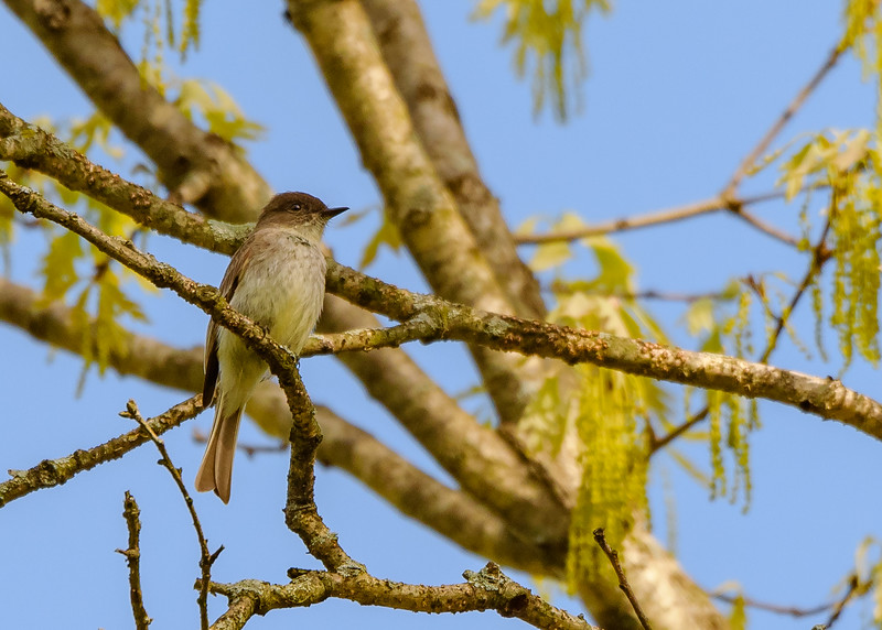 Eastern Phoebe at Indiana Dunes State Park, Chesterton, IN