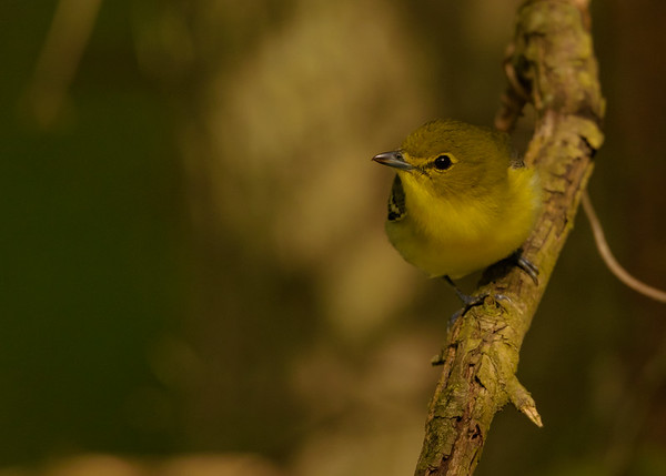 Yellow-throated Vireo at Indiana Dunes State Park, Chesterton, IN