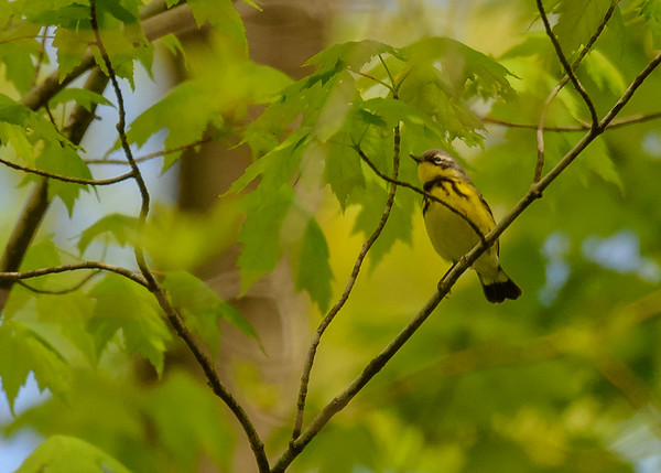 Magnolia Warbler (male) at Indiana Dunes State Park, Chesterton, IN