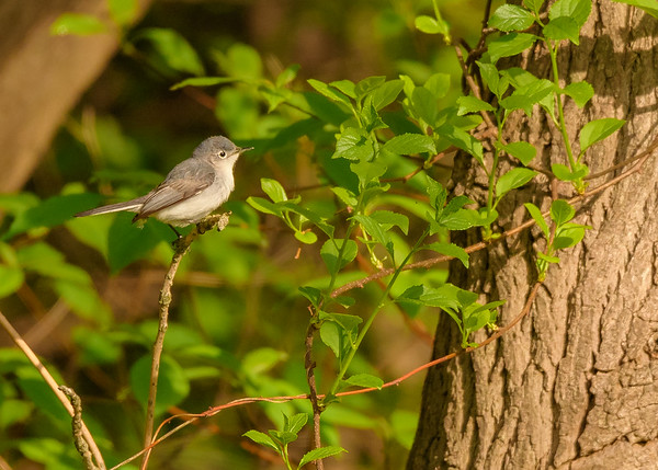 Blue-gray Gnatcatcher at Indiana Dunes State Park, Chesterton, IN