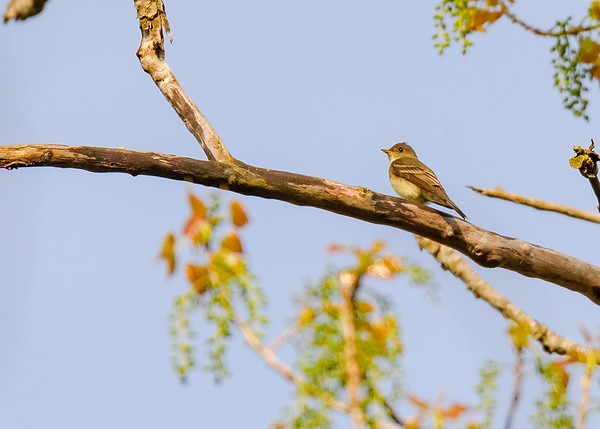 Acadian Flycatcher at Indiana Dunes State Park, Chesterton, IN