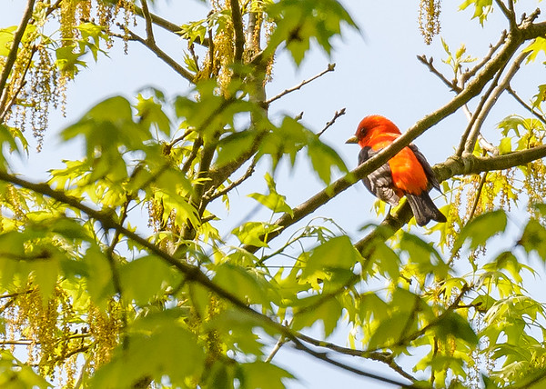 Scarlet Tanager (male) at Indiana Dunes State Park, Chesterton, IN
