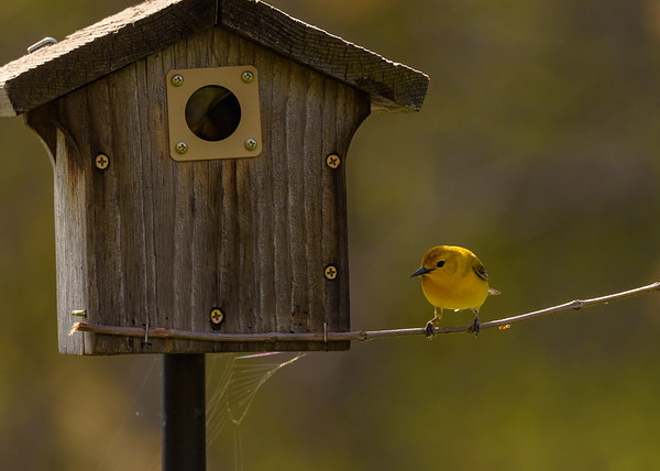 Prothonotary Warbler (female) at Indiana Dunes State Park, Chesterton, IN