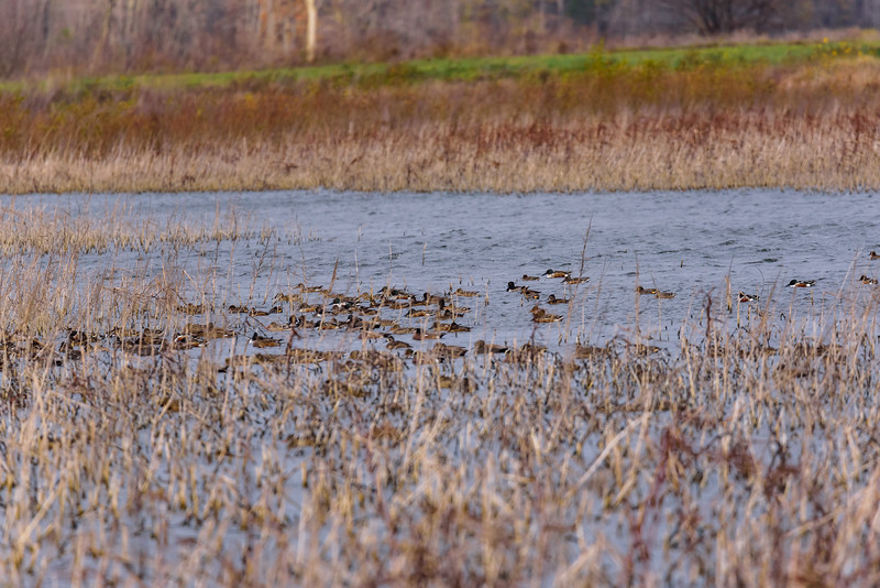 Northern Shoveler,s Ring-necked Duck,s Gadwalls & Green-winged Teals at Kankakee FWA, North Judson, IN