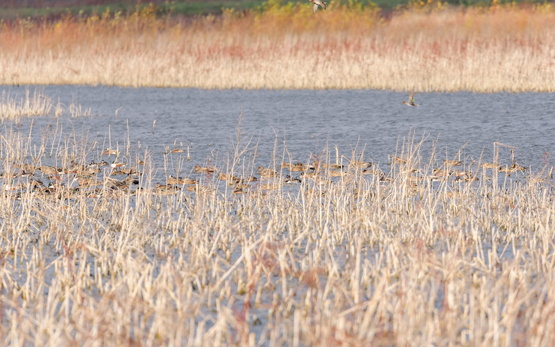 Northern Shoveler,s Ring-necked Duck,s Gadwalls, American Wigeons & Green-winged Teals at Kankakee FWA, North Judson, IN