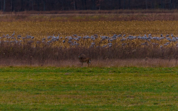 a white tailed deer among Sandhill Cranes at Jasper-Pulaski FWA, Medaryville, IN