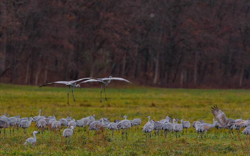 approaching the runway...Sandhill Cranes in flight at Jasper-Pulaski FWA, Medaryville, IN