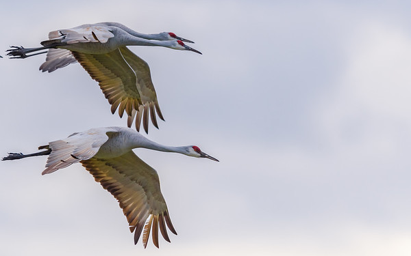 Sandhill Cranes in flight from up close at Jasper-Pulaski FWA, Medaryville, IN