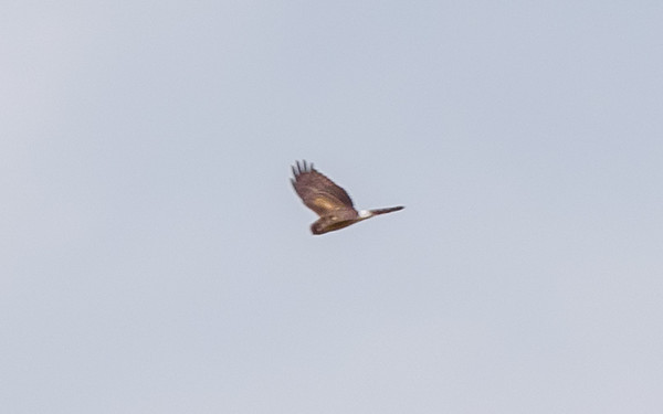 a Northern Harrier, near the fields of Kankakee FWA, North Judson, IN
