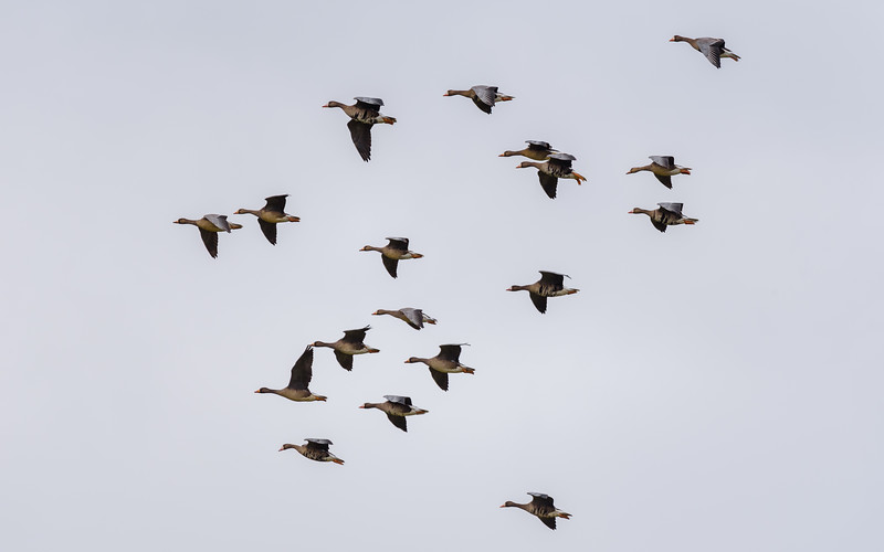 Greater White-fronted Goose in flight at Kankakee FWA, North Judson, IN