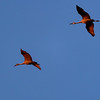 Sandhill Cranes coming for roosting at Jasper-Pulaski Fish and Wildlife Area