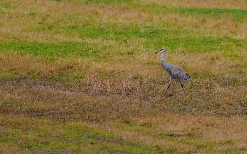a lone Sandhill Cranes in flight at Jasper-Pulaski FWA, Medaryville, IN