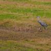 a lone Sandhill Cranes in flight at Jasper-Pulaski FWA