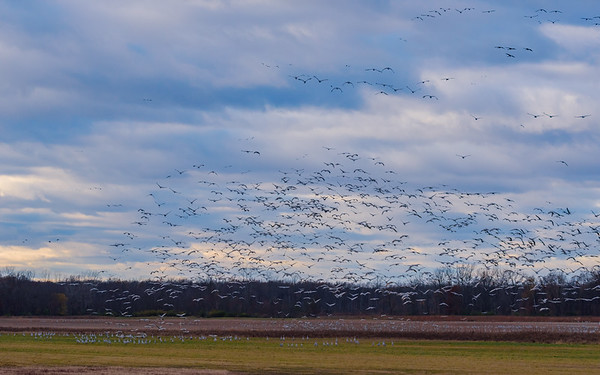 mass relocation of Sandhill Cranes in flight at Jasper-Pulaski FWA, Medaryville, IN