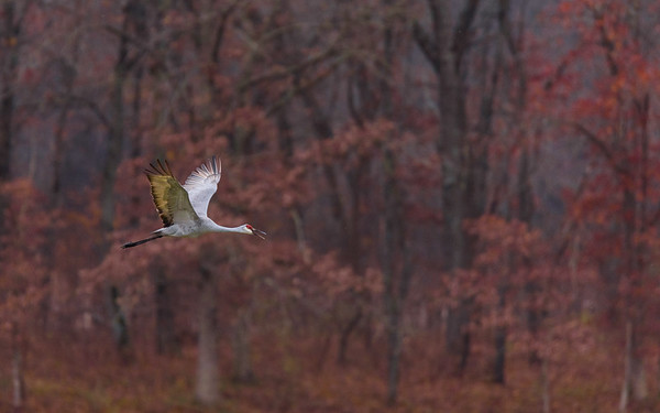 Sandhill Cranes in flight at Jasper-Pulaski FWA, Medaryville, IN