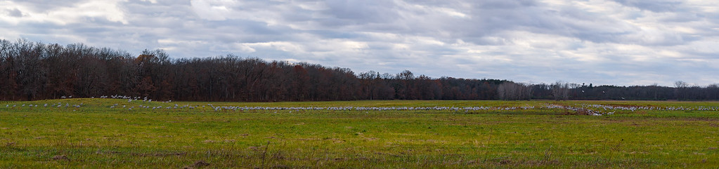humanity of Sandhill Cranes in flight at Jasper-Pulaski FWA, Medaryville, IN