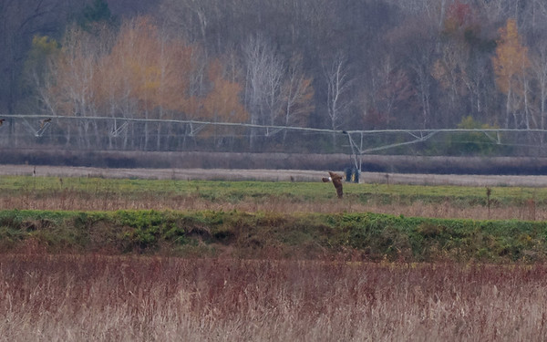 a Northern Harrier at Kankakee FWA, North Judson, IN
